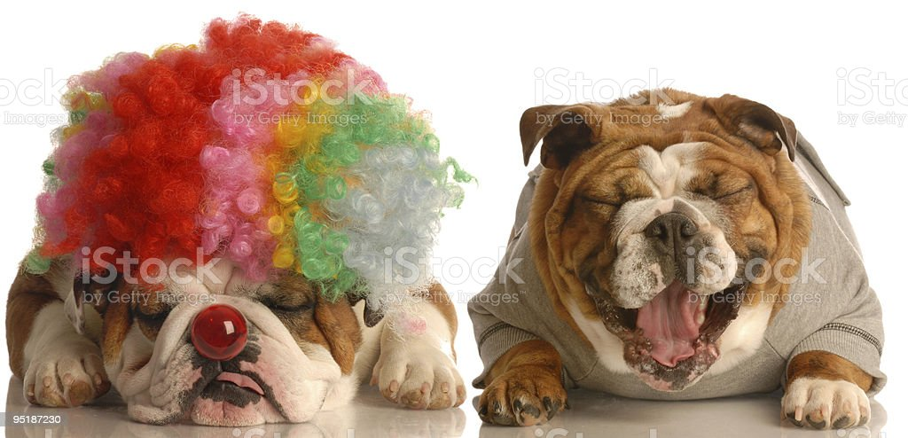 dog laughing at another wearing silly clown wig stock photo