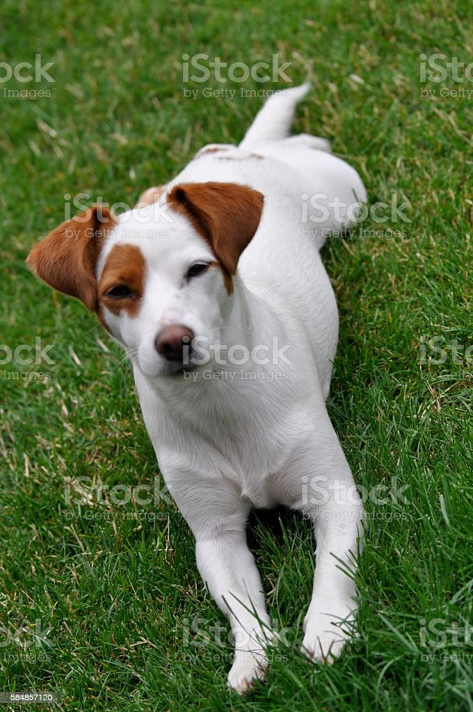Dog lay down position stock photo