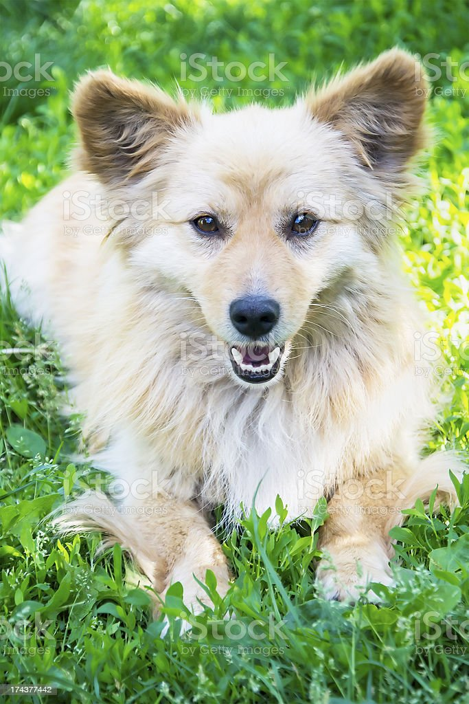 Dog laying down on the grass royalty-free stock photo