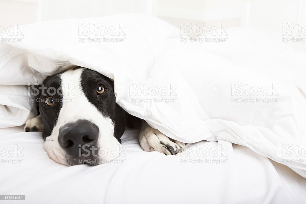 Dog laying in bed stock photo