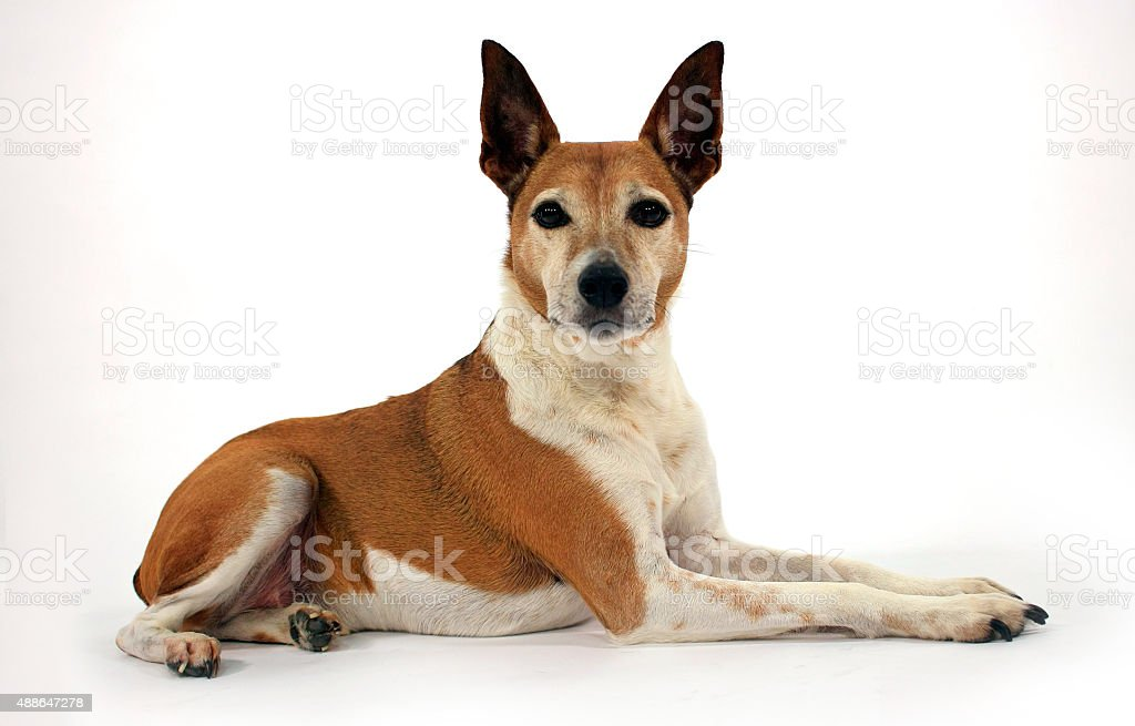 Dog laying on white stock photo