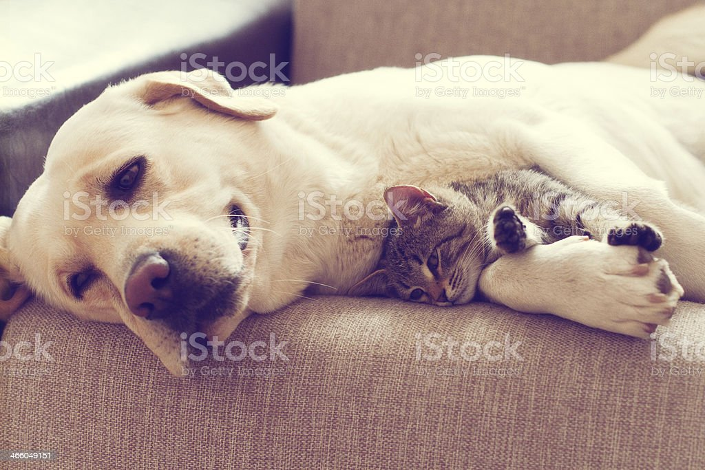 Dog laying with kitten stock photo