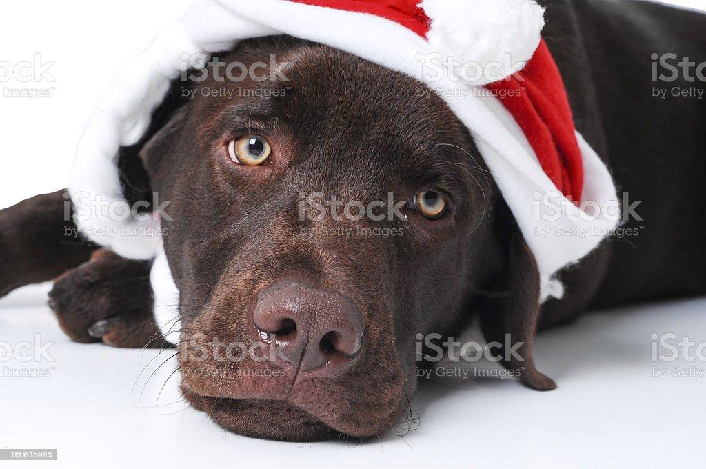 Dog laying with santa's hat royalty-free stock photo