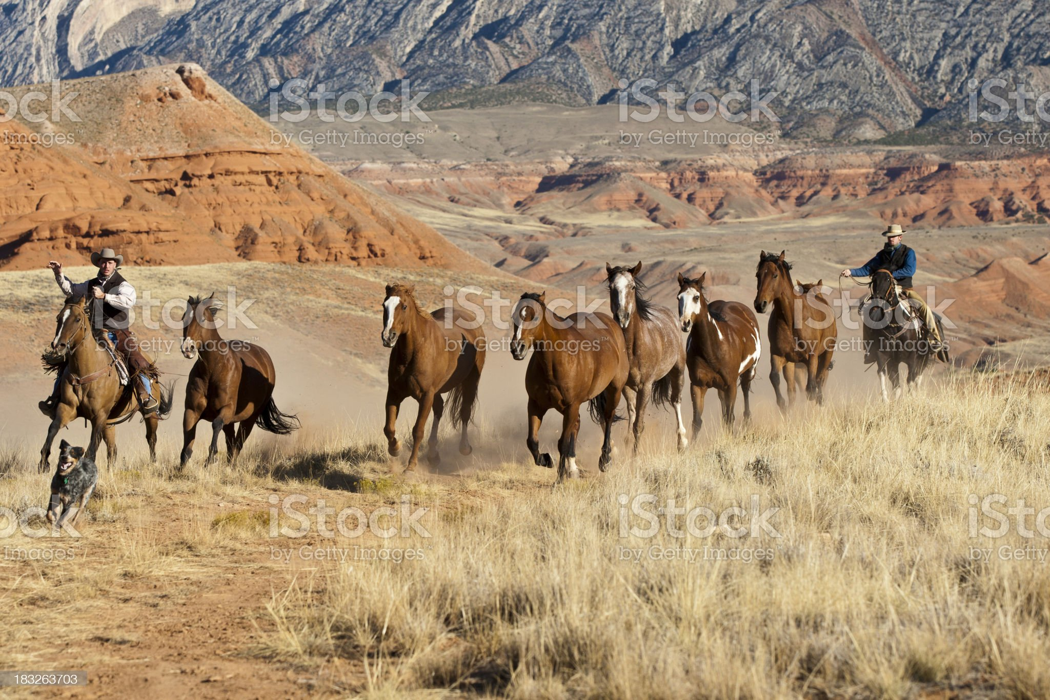 Dog leads as Cowboys drive horses royalty-free stock photo