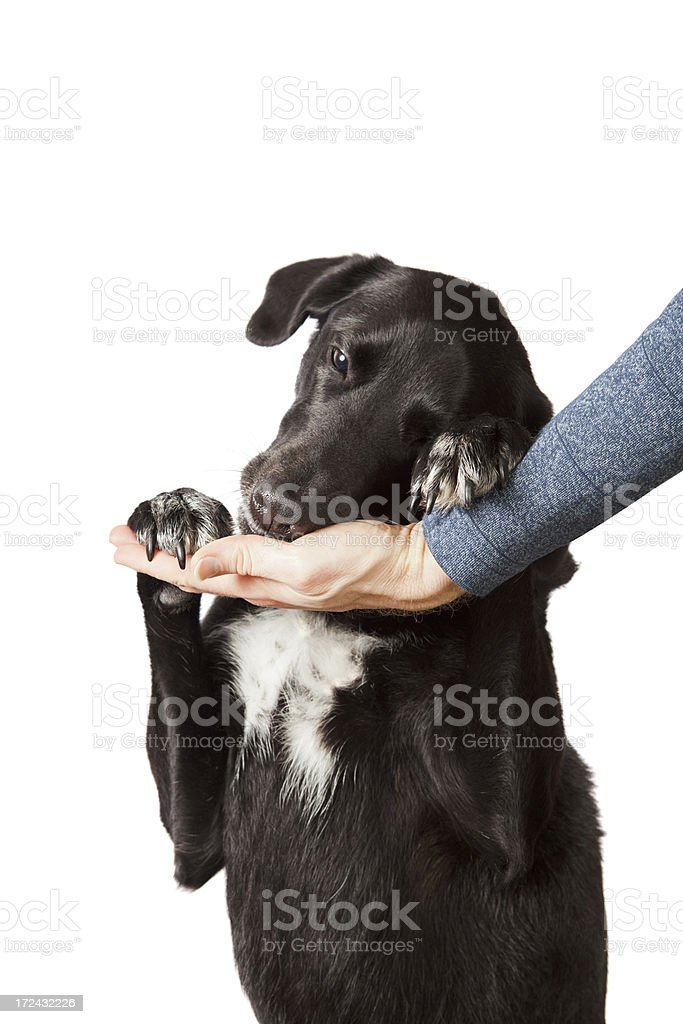 Dog leaning head into a hand stock photo