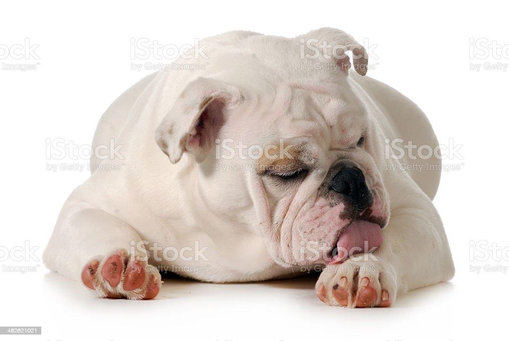 dog licking paw stock photo