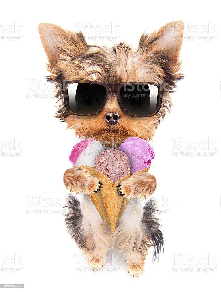 dog licking with ice cream stock photo