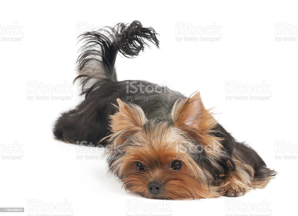 Dog lies and poses royalty-free stock photo