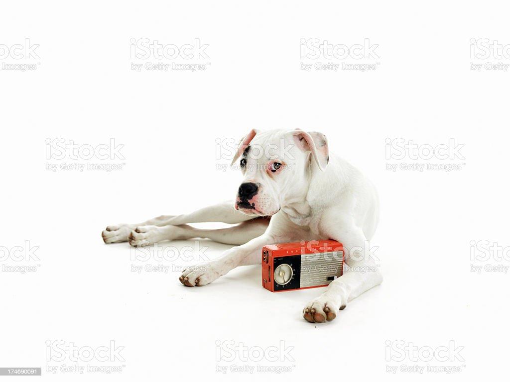 Dog listening radio royalty-free stock photo