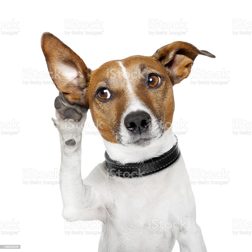 dog listening with big ear stock photo
