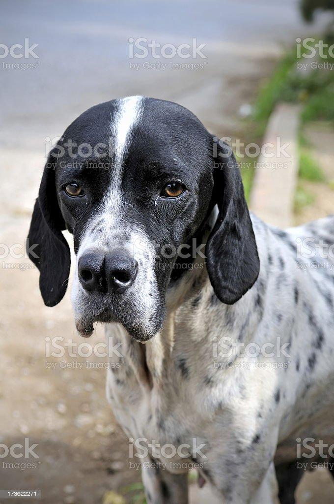 Dog loking at the camera royalty-free stock photo