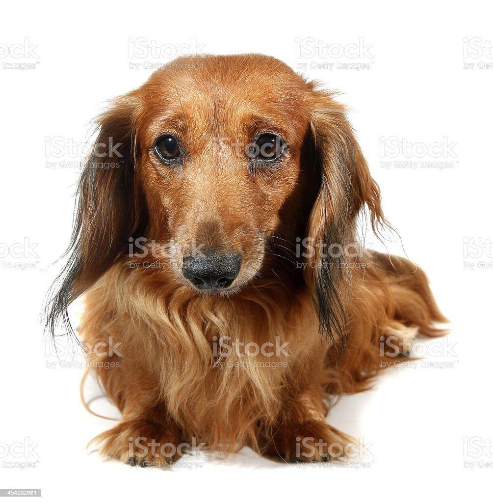 Dog long-haired dachshund pet stock photo