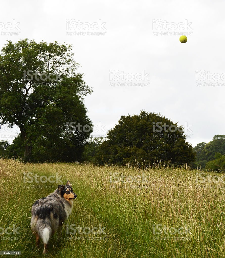 Dog looking at ball in the air stock photo