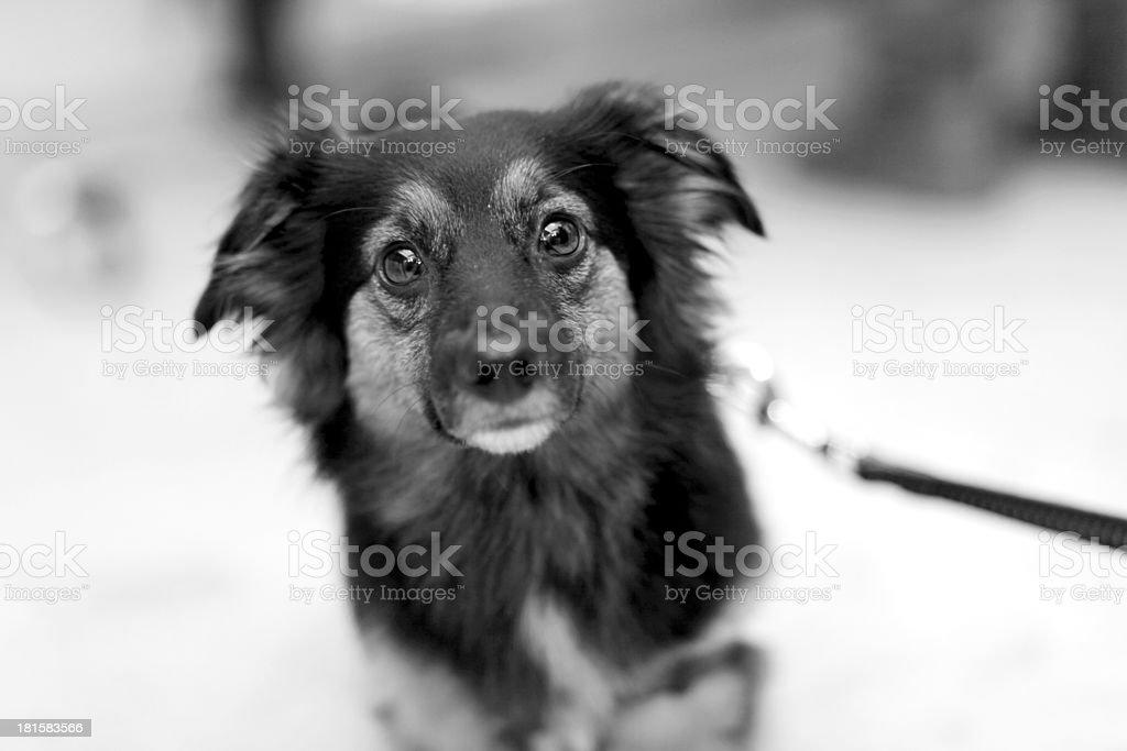 Dog looking at Camera stock photo