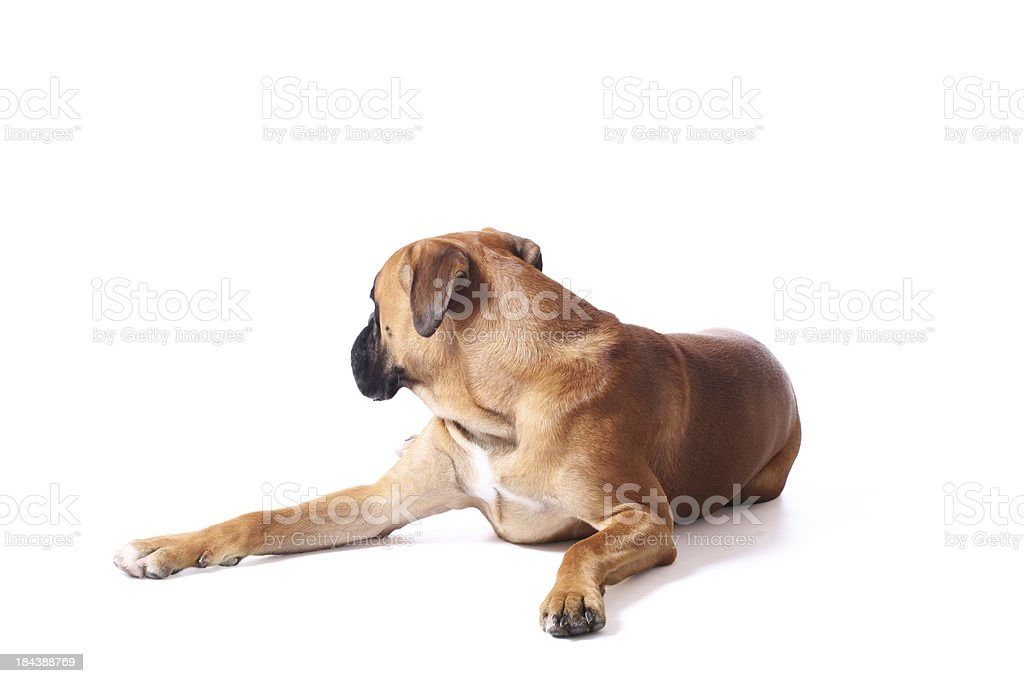 Dog looking backwards royalty-free stock photo