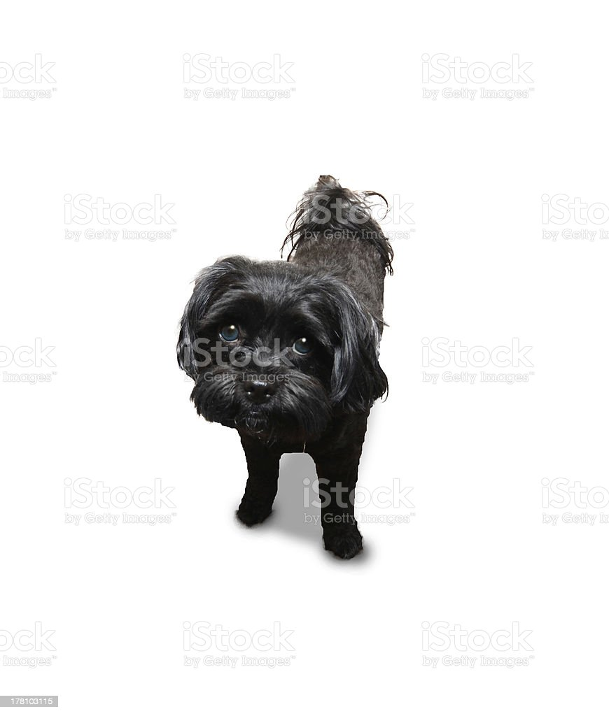 Dog looking guilty royalty-free stock photo