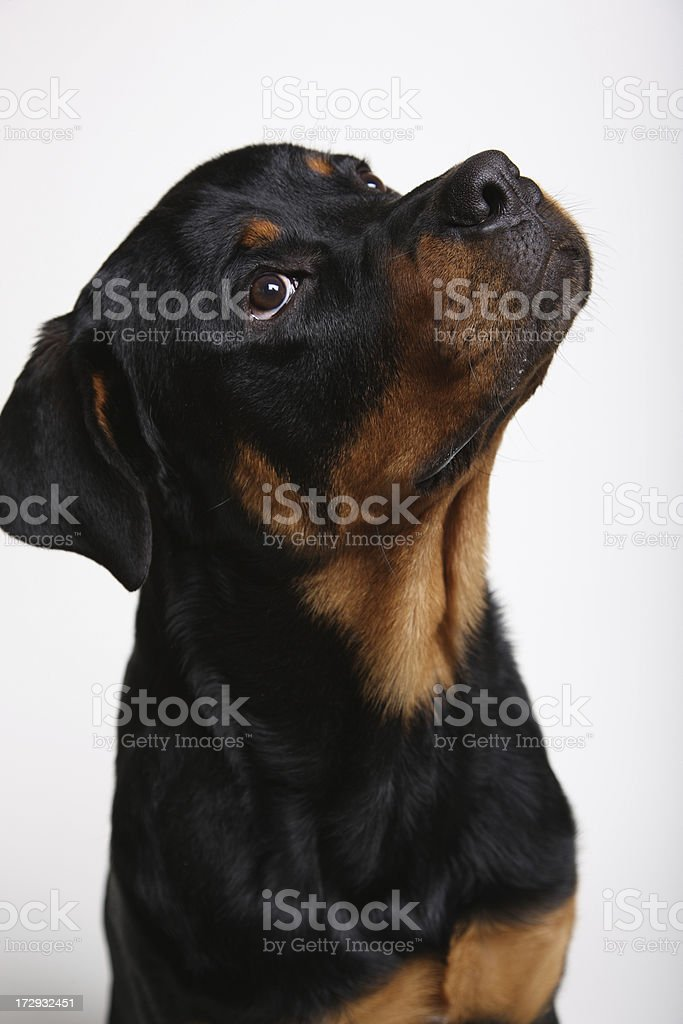 Dog Looking Inquisitively Up - Rottweiler royalty-free stock photo