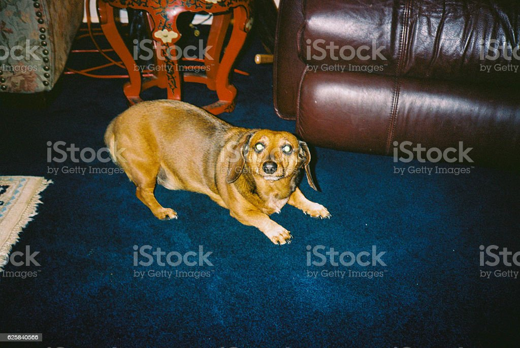 Dog looking into Camera crouching stock photo