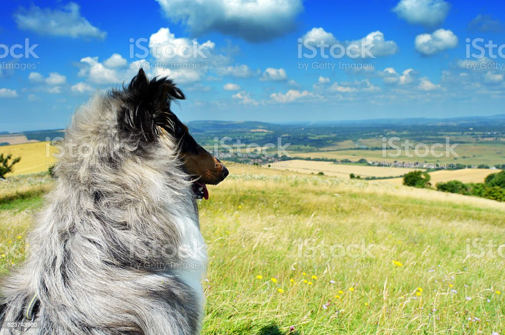Dog looking out at view from South Downs stock photo