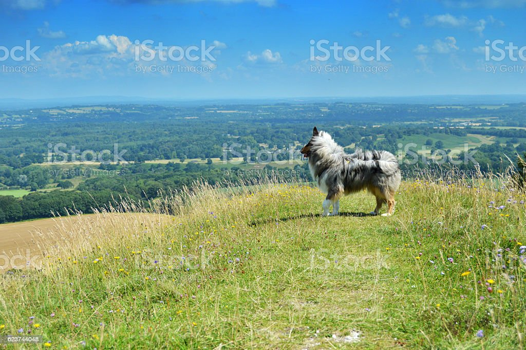 Dog looking out at view from South Downs Way stock photo