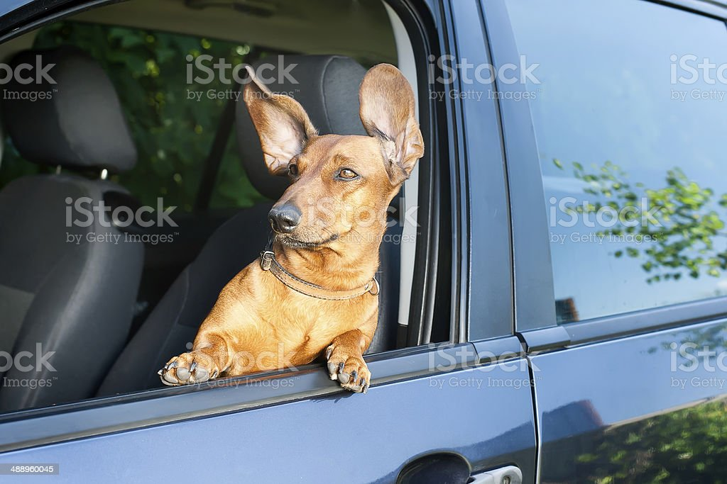Dog looking out from the car window stock photo
