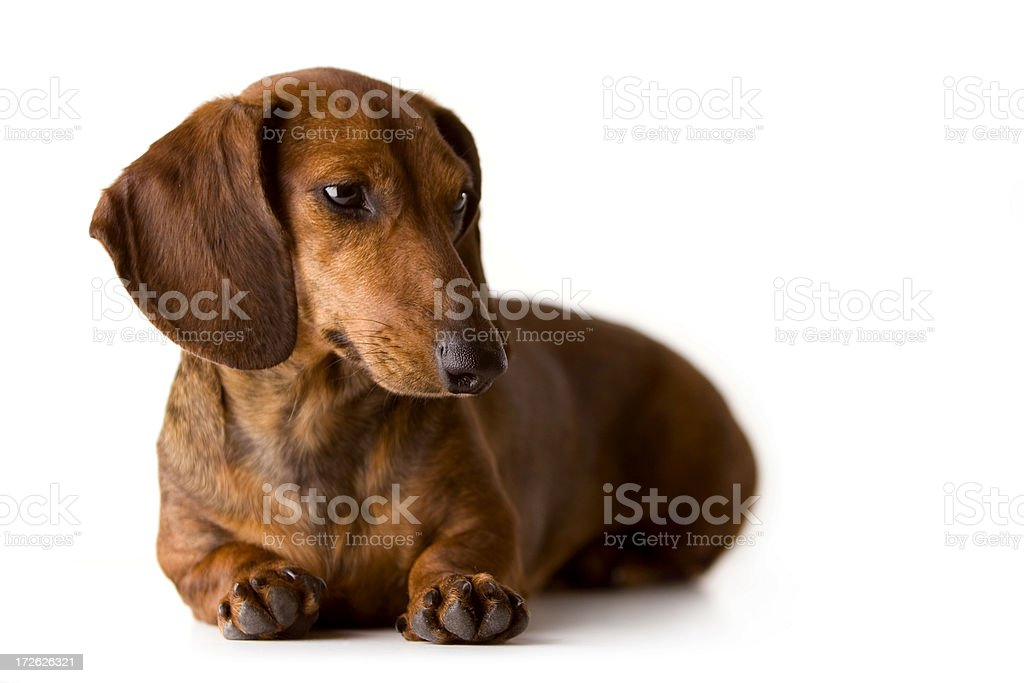 Dog Looking Over royalty-free stock photo