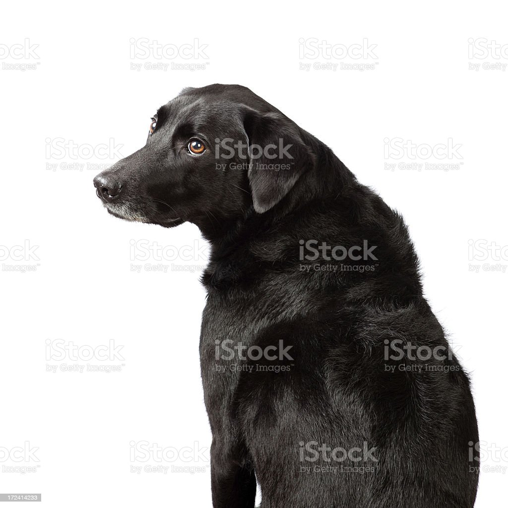 Dog looking over shoulder royalty-free stock photo