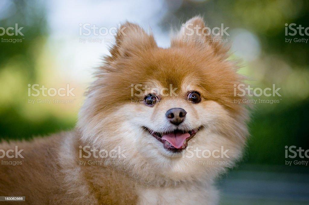 Dog looking royalty-free stock photo