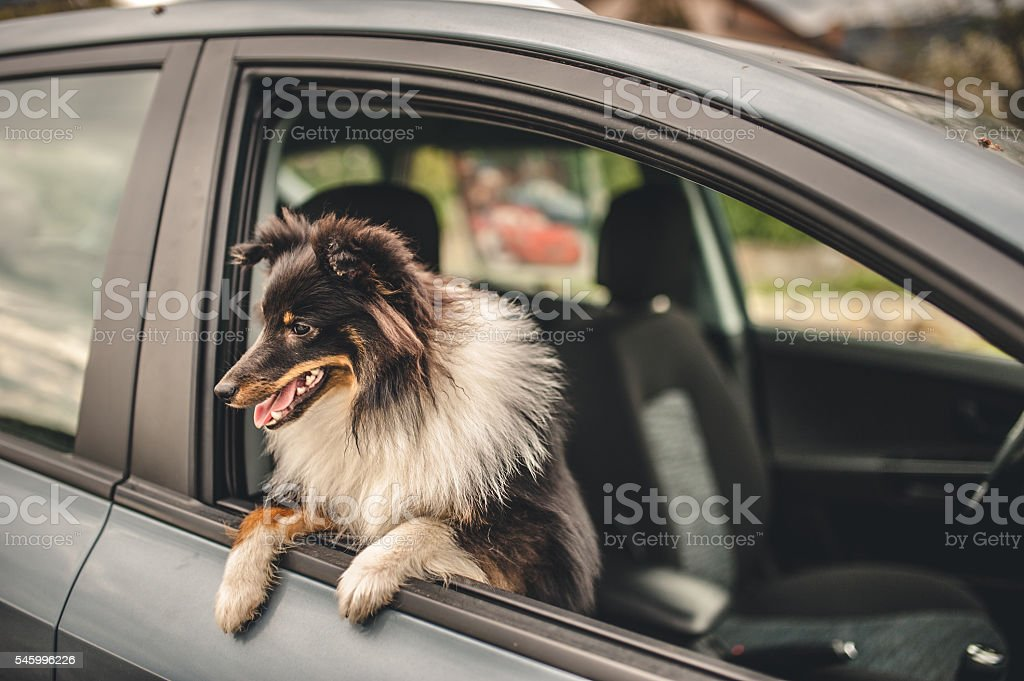 Dog looking through a car window stock photo