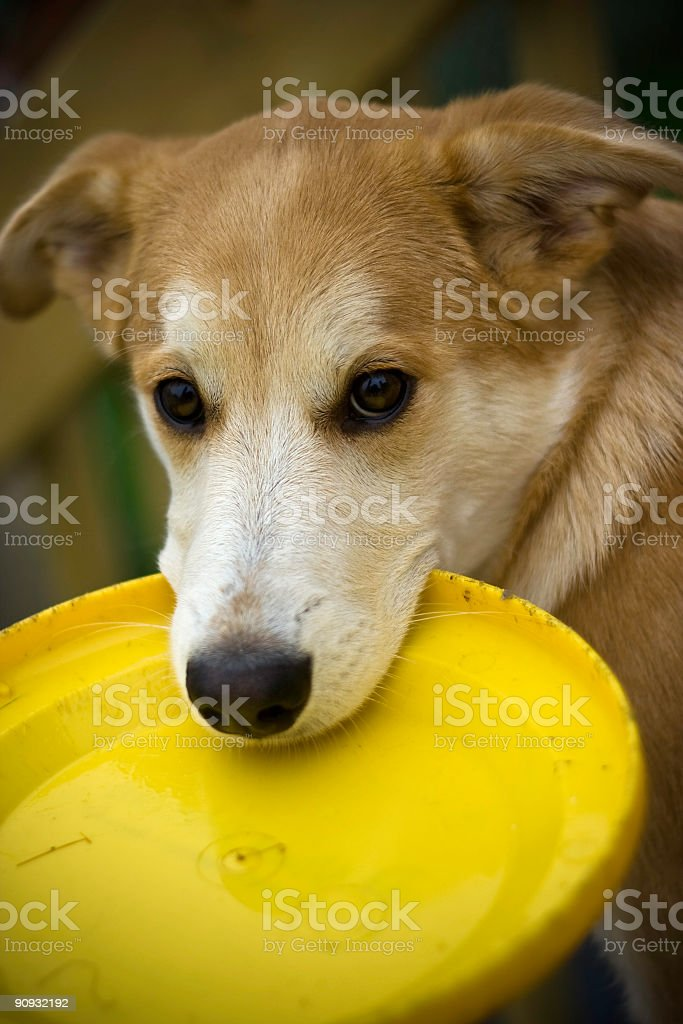Dog Looking Towards Viewer Holding Frisbee in Mouth royalty-free stock photo