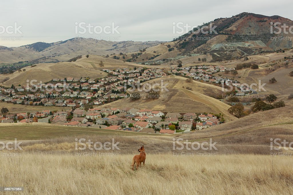Dog Lookout Above the California Suburbs stock photo