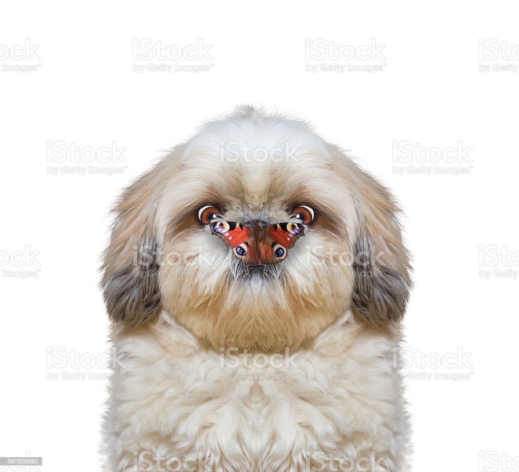 Dog looks at butterfly at his nose stock photo