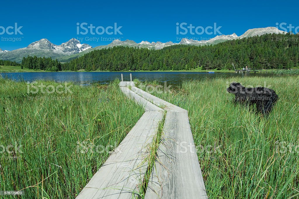 dog looks the lake of staz in engadin valley stock photo