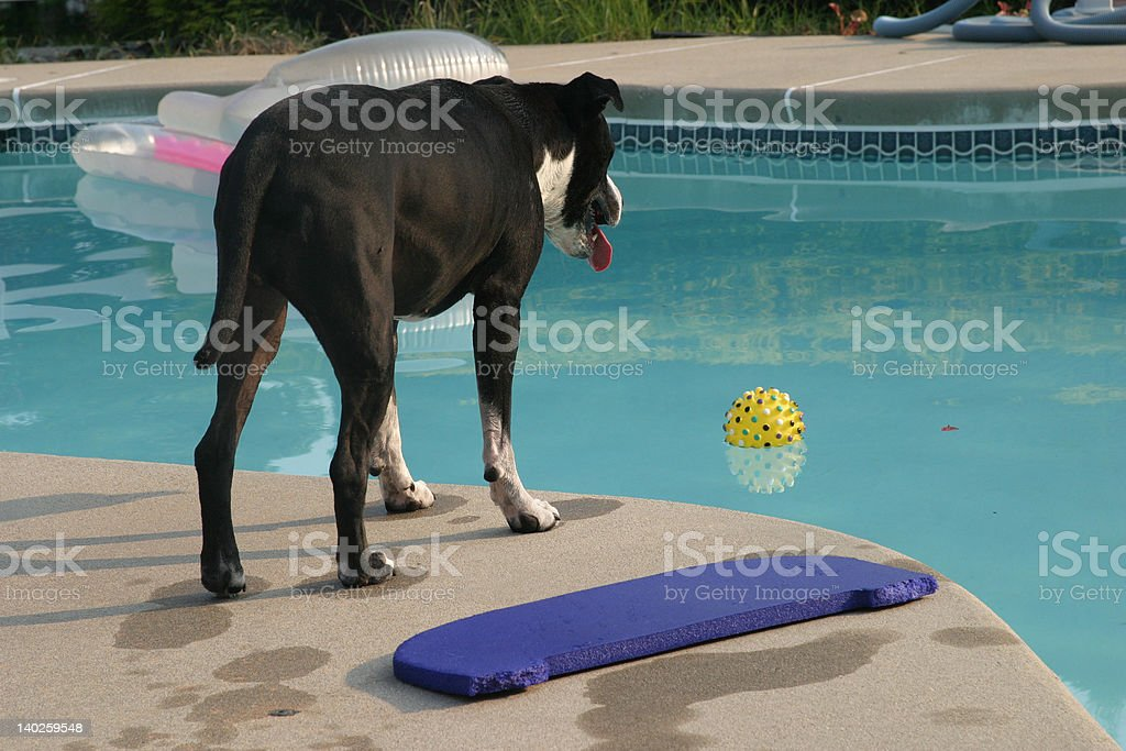 Dog lost his ball in pool stock photo