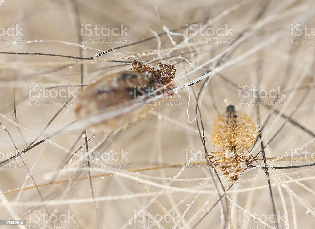 Dog louse, extreme close up stock photo