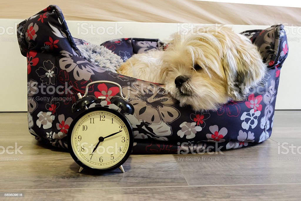 Dog lying in bed turning off an alarm clock stock photo