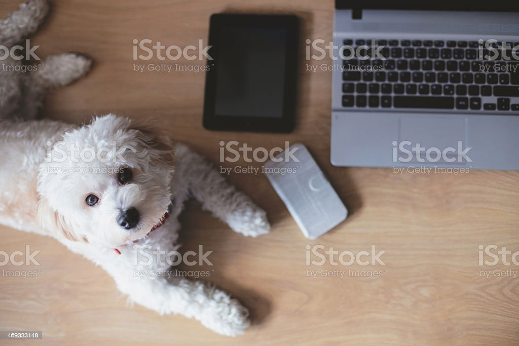 Dog lying in home office stock photo