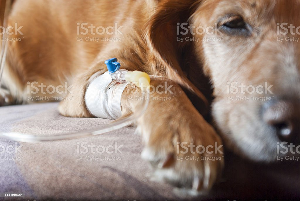 dog lying on bed with cannula in vein taking infusion stock photo