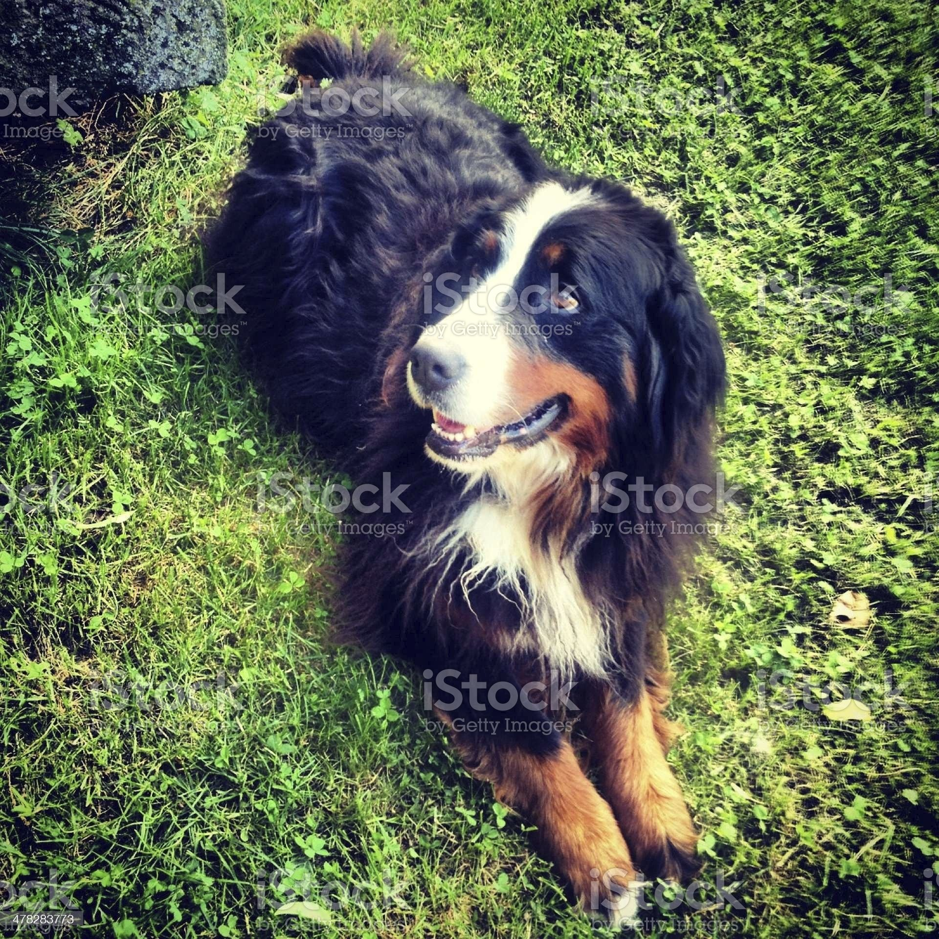 dog lying on grass royalty-free stock photo