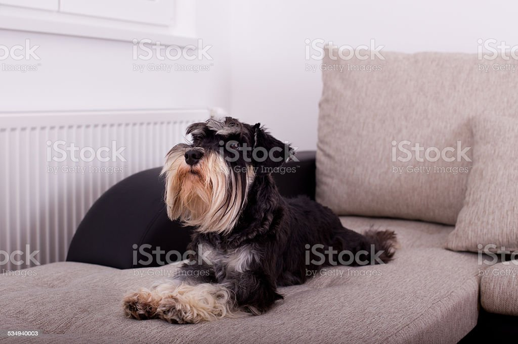 Dog lying on sofa stock photo
