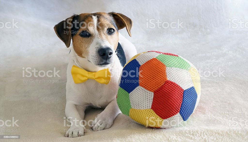 Dog lying on the bed with toy. stock photo