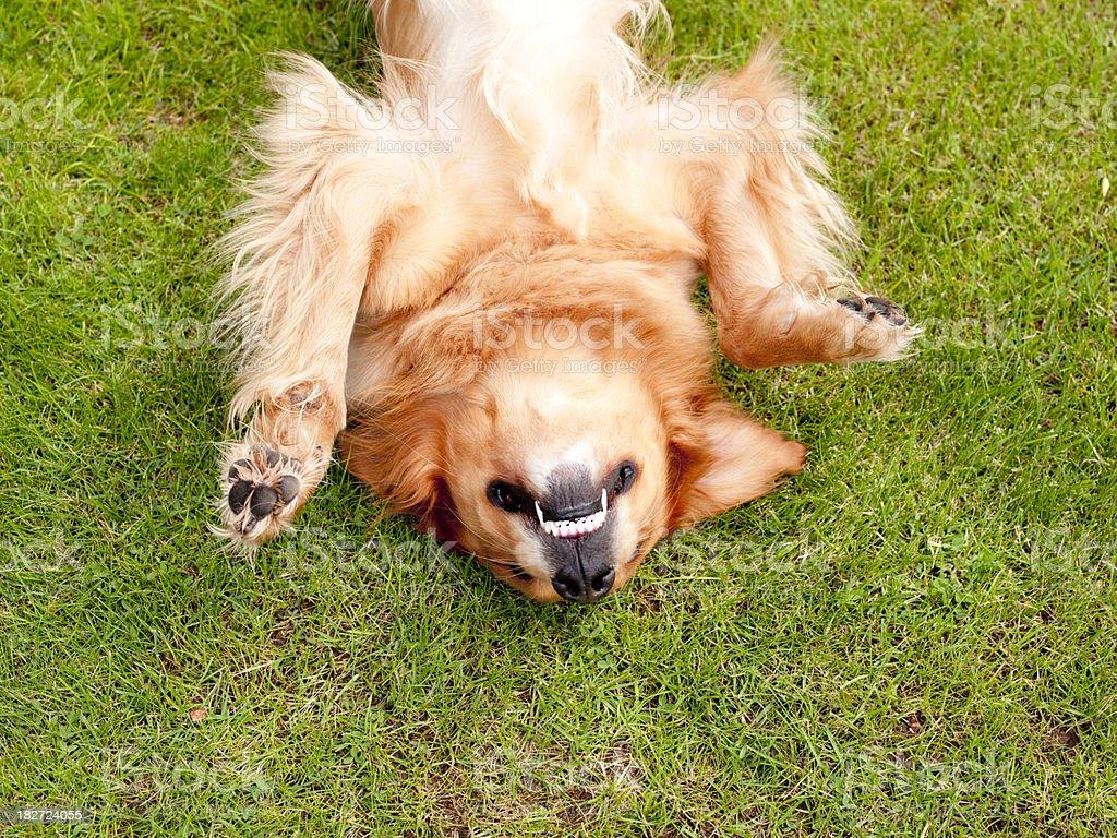 XXXL Dog Lying on the grass royalty-free stock photo