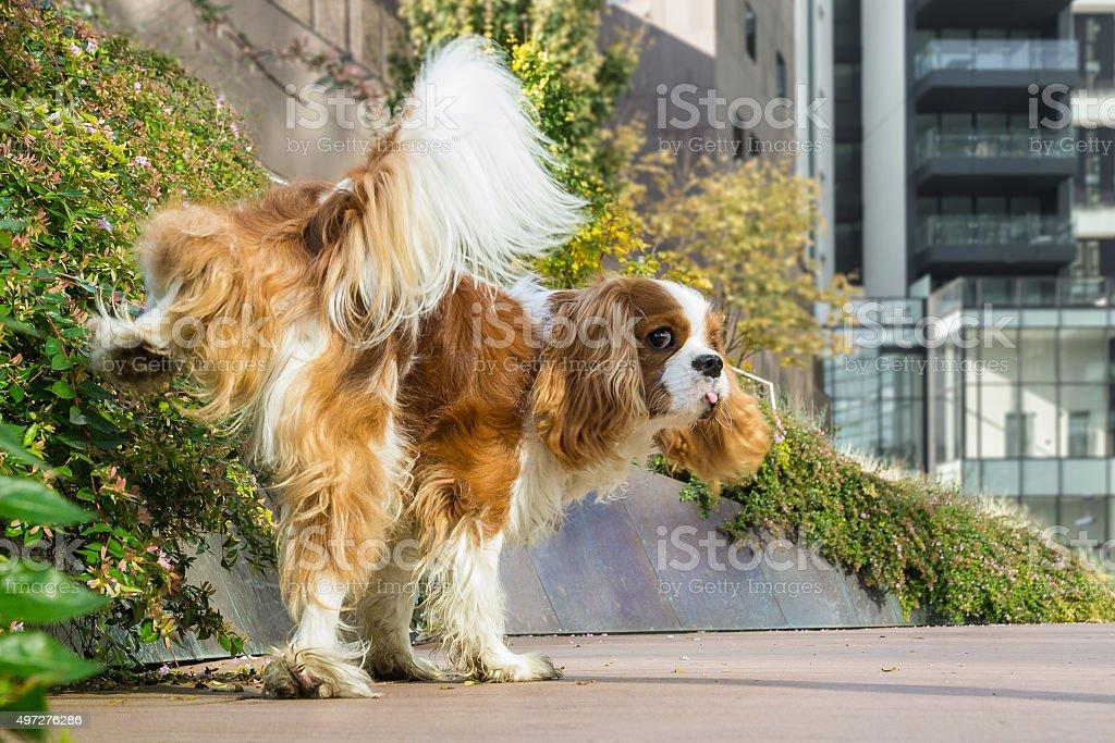 Dog marking territory stock photo