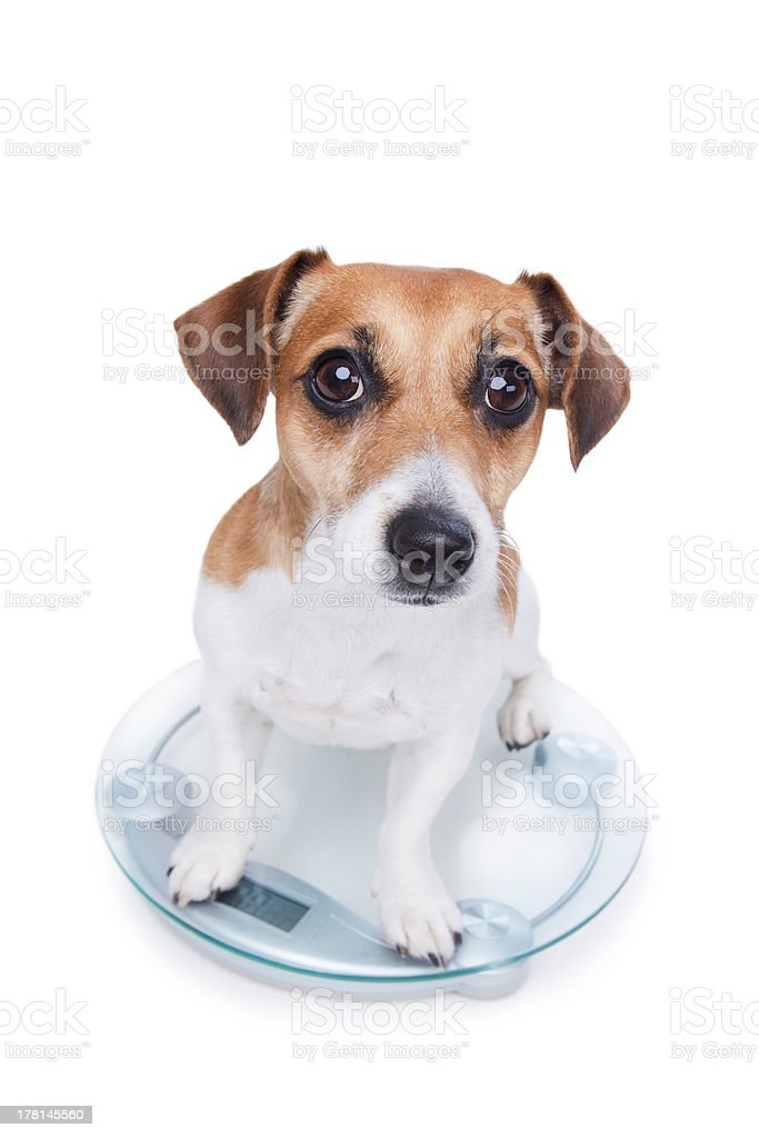 Dog measures your weight royalty-free stock photo