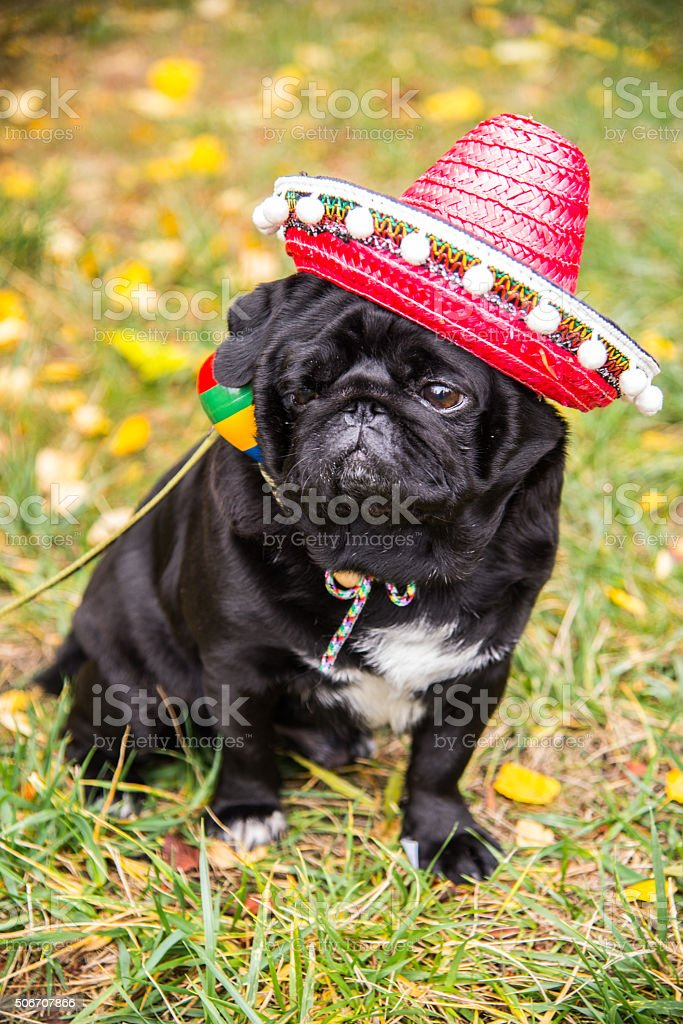 Dog Mops. Dog dressed as a Mexican. hat sombrero stock photo