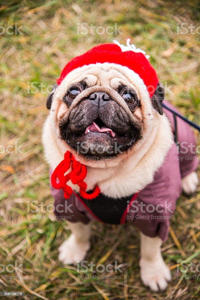 Dog Mops. Dog dressed as Santa Claus stock photo