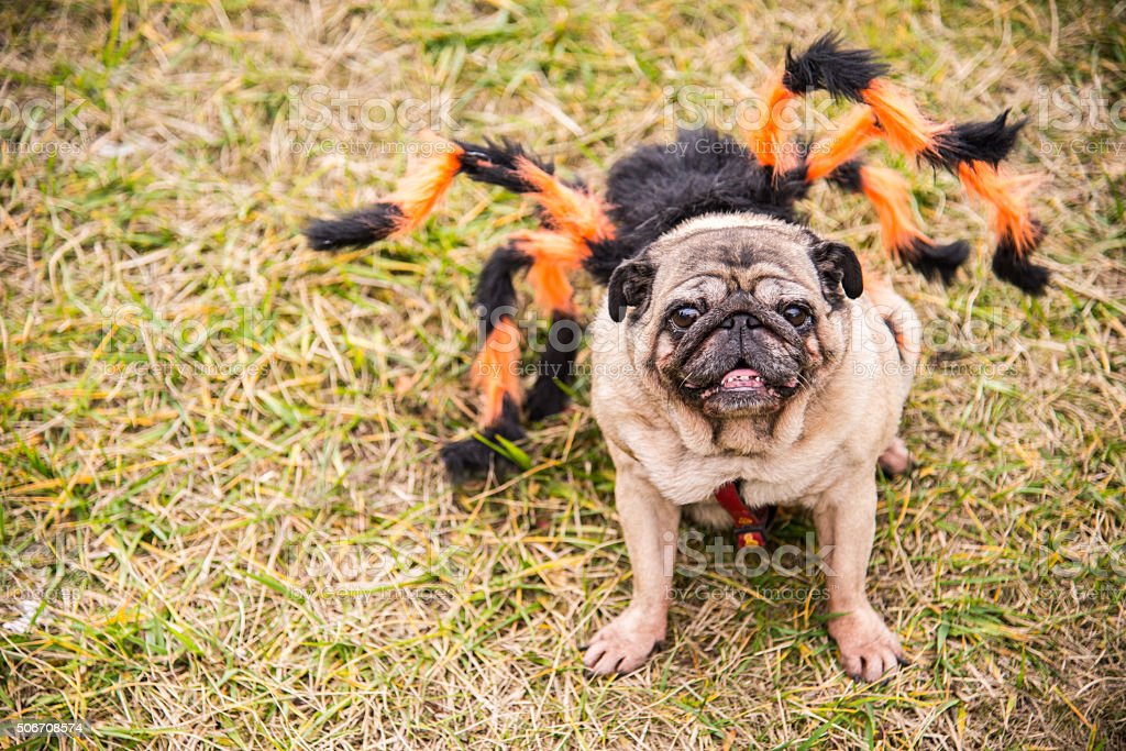 Dog Mops. Dog dressed as Spiderman stock photo