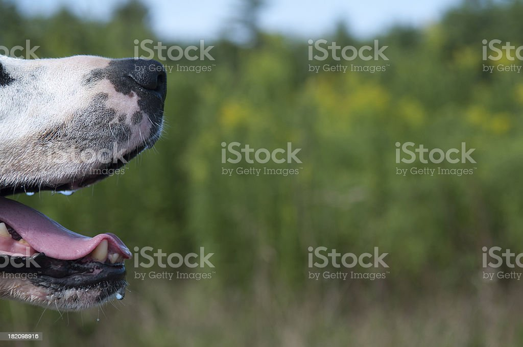 Dog mouth and nose royalty-free stock photo
