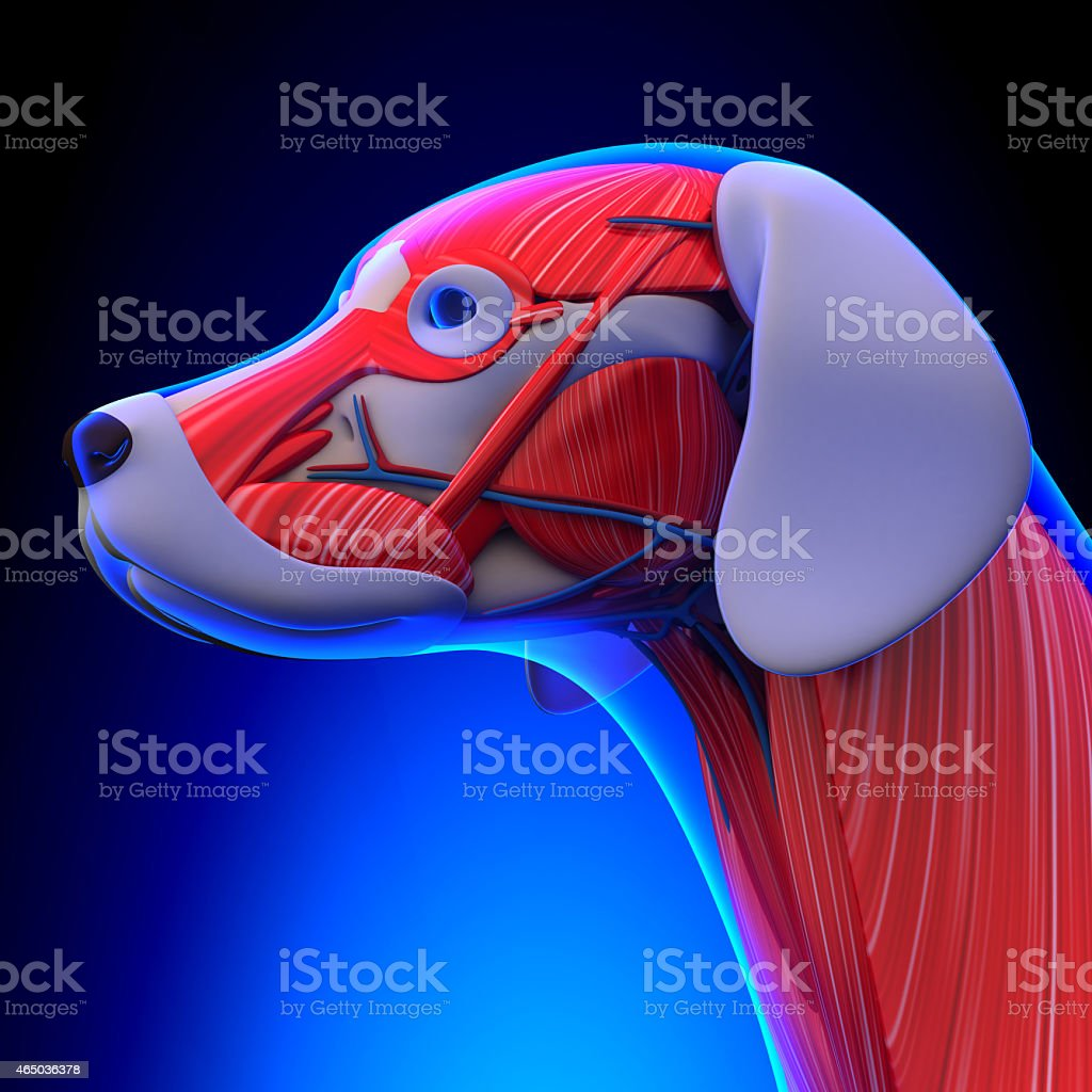 Dog Muscles Anatomy - Anatomy of a Male Dog Muscles stock photo