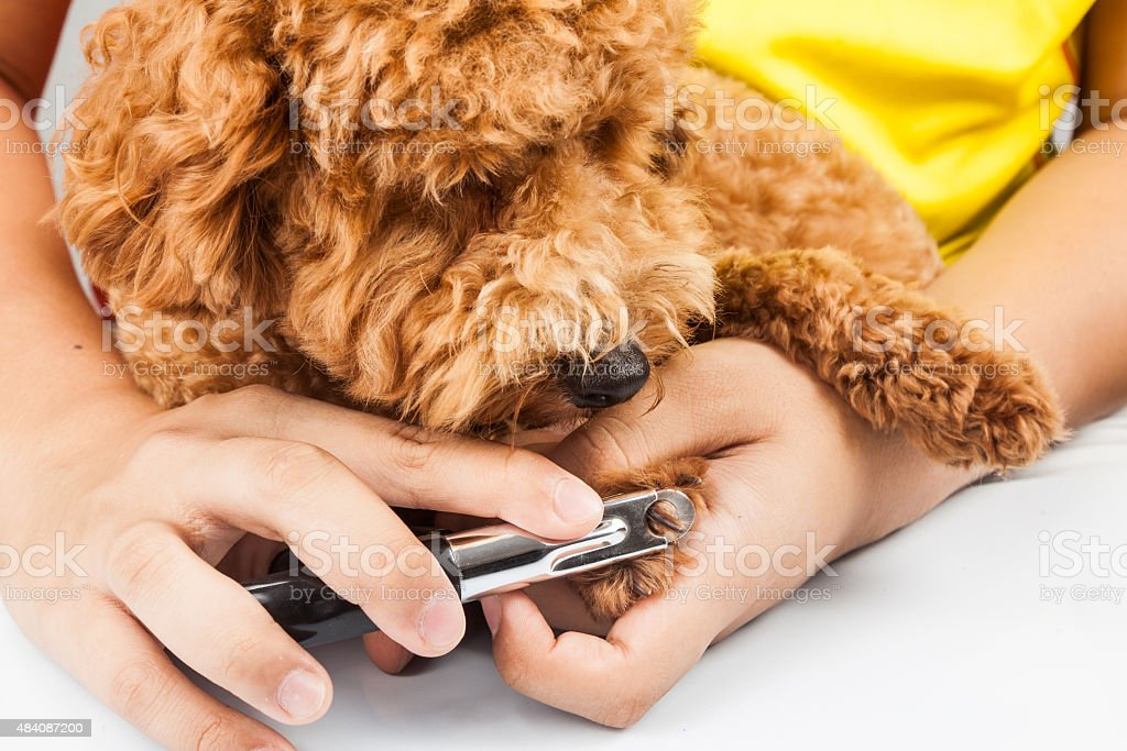 Dog nails being cut and trimmed during grooming stock photo